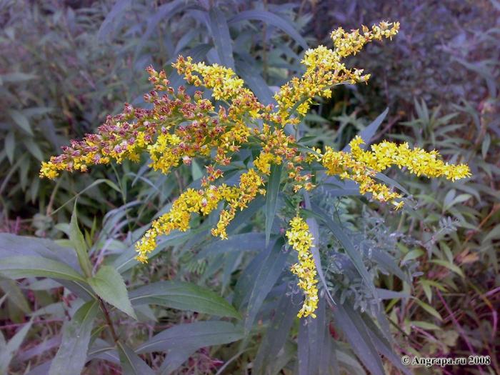 Растение, окрестности Черняховска